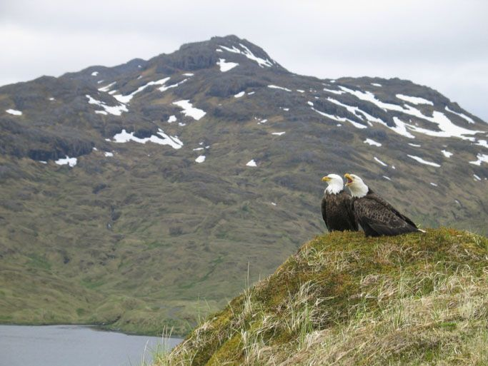 Adak Island Eagles