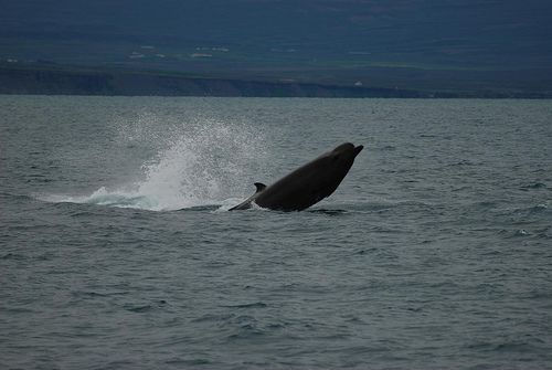 Bottlenose Whale - Westmark Hotels Alaska & Yukon Territory