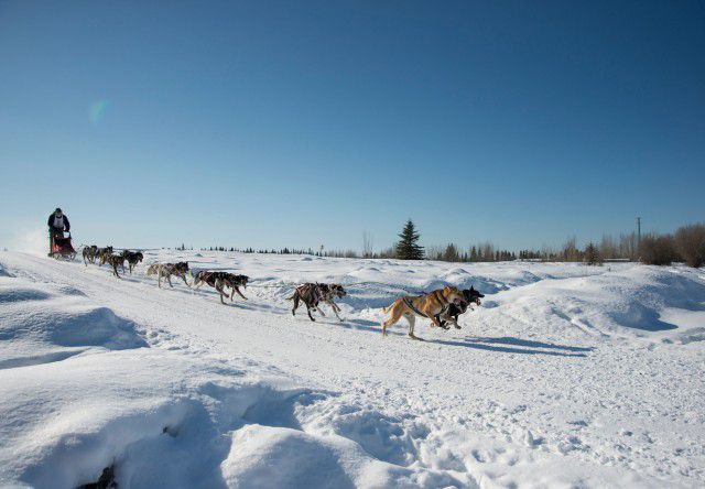 Musher and dogs speed along the trail during the 2014 Open North American Sled Dog Race in Fairbanks, Alaska. Photo by Sherman Hogue/Explore Fairbanks