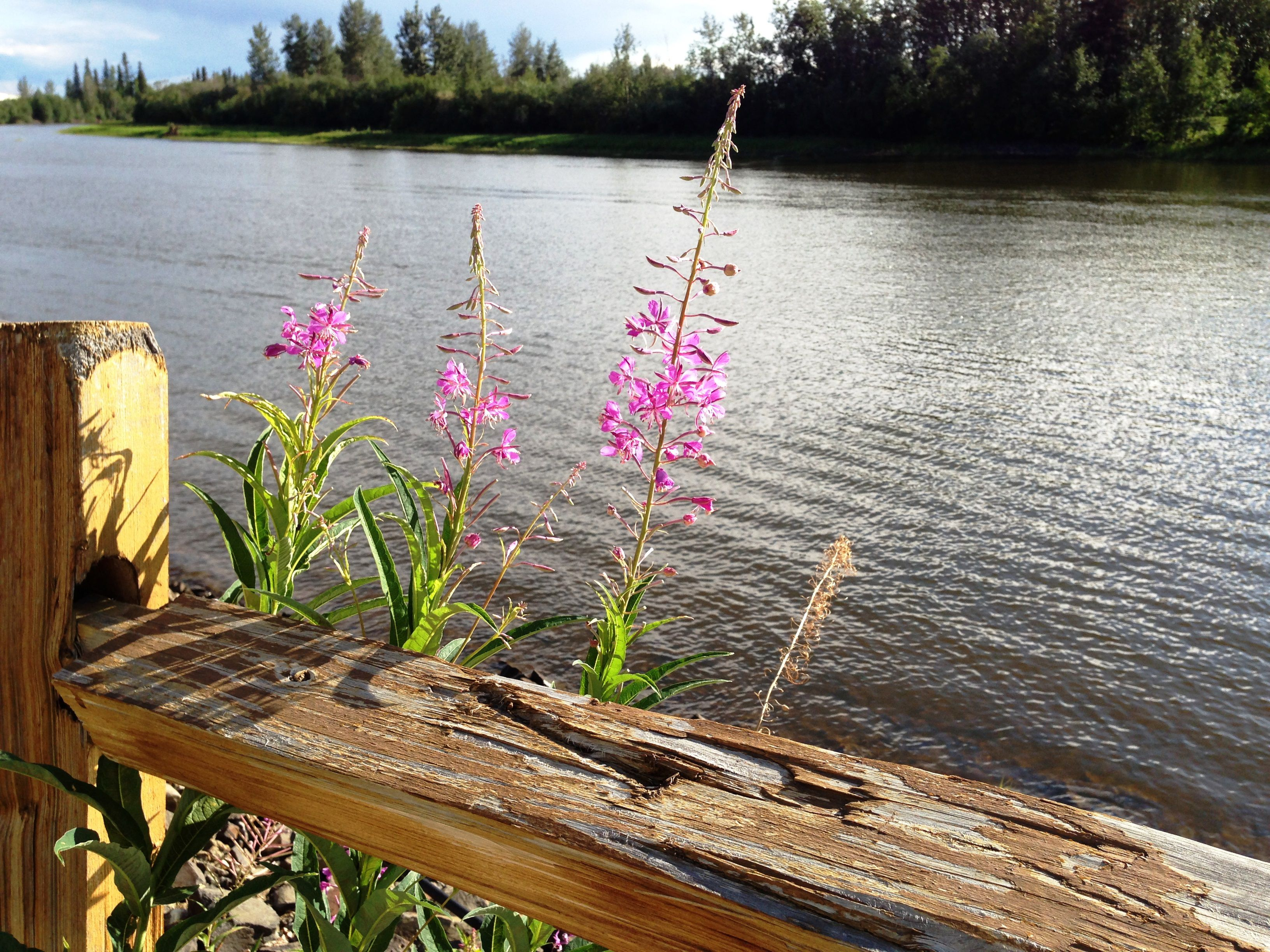 Fireweed along an Alaska river