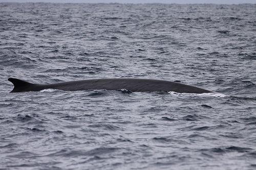 Fin Whale - Westmark Hotels Alaska & Yukon Territory