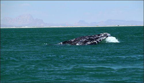 Gray Whale - Westmark Hotels Alaska & Yukon Territory