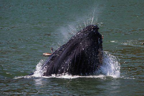 Humpback Whale - Westmark Hotels Alaska & Yukon Territory
