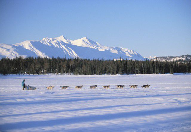 dog musher and dogs in snowy landscape