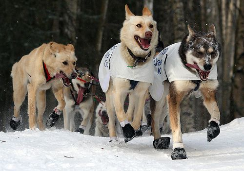 Iditarod sled dogs lead the way along snow covered trails. The lead dog is white with tongue lolling to one side.