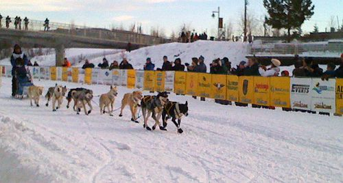 Team of sled dogs and musher race into the finish of the Yukon Quest down the funnel that is crowded by onlookers.