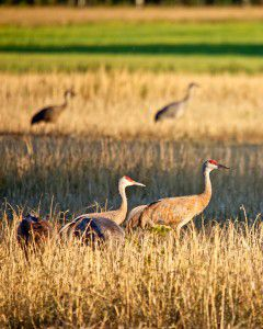 Sandhill cranes wander through Creamers Field in Fairbanks, Alaska