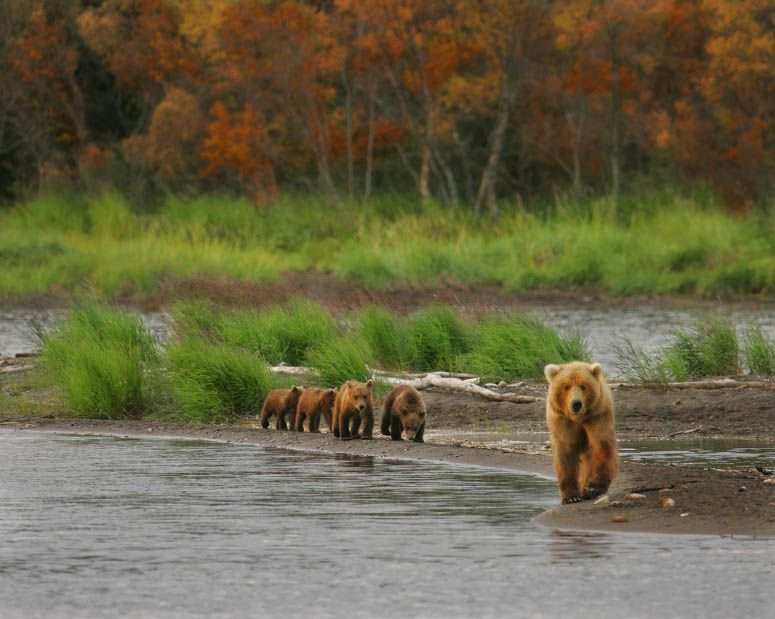 family of grizzly bears Alaska