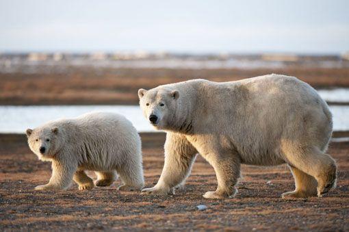 polar-bear-alaska