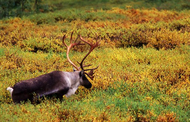 reindeer-denali-national-park